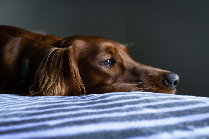 An anxious red dog lying down and showing the signals of stress in a dog