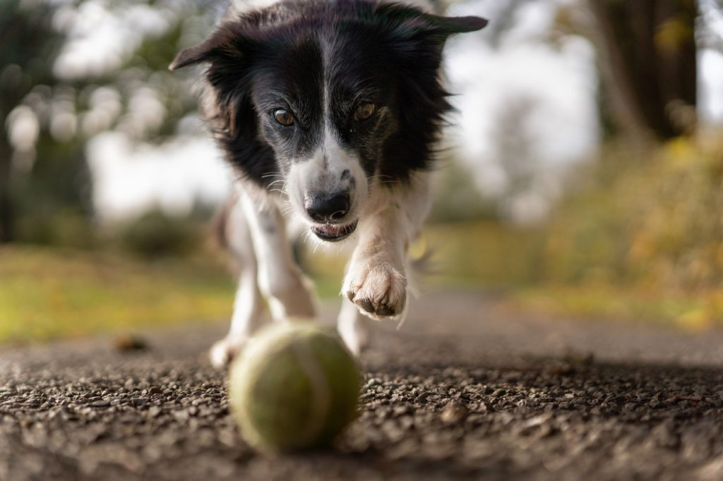 A hyper dog chases after a ball.
