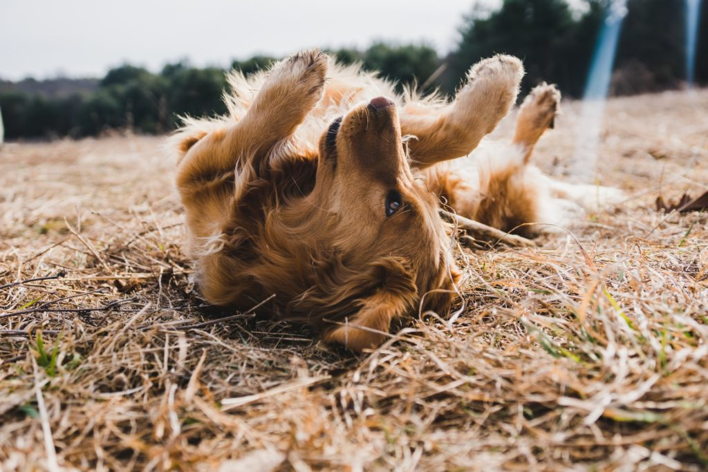 A golden retriever with allergies rolls around in the grass.